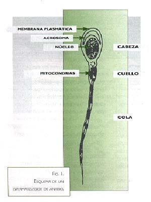 Fig.1 Esquema de un espermatozoide anfibio