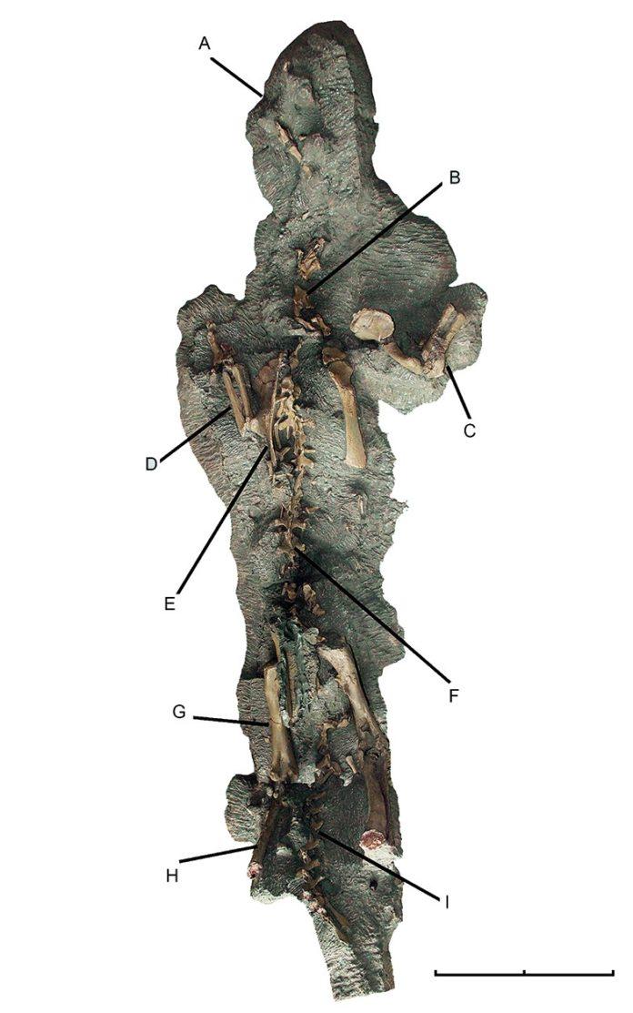 Uno de los esqueletos mejor preservados de Chilesaurus