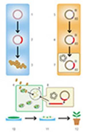 Figura 1. Esquema simplificado de dos métodos usados para modificar genéticamente una planta. La columna celeste indica la transformación por biobalística: en un vector o plásmido (1) se introduce, como primer paso (2), el fragmento de ADN deseado (en rojo); luego el plásmido se precipita sobre micropartículas de oro o tungsteno (3) y se bombardea el tejido vegetal (4). La columna ocre indica la transformación por la bacteria Agrobacterium tumefaciens: el procedimiento parte de incorporar el fragmento de ADN de interés en un plásmido que posee los elementos necesarios (BI y BD) que son reconocidos por la maquinaria de transferencia de dicha bacteria (5, 6). Ese plásmido es luego introducido en la bacteria (7), la cual puede transferir el ADN de interés al interior de las células de las plantas que infecta (8). El resultado de ambos métodos es la integración del fragmento de ADN de interés al genoma nuclear de la planta (9). Como siguiente paso, el tejido vegetal genéticamente modificado se coloca en un medio con hormonas vegetales y un agente selector (10), en el que sólo sobreviven las células transformadas, las cuales originan brotes (11) que permiten obtener una planta transgénica