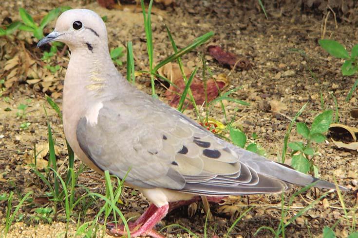 La paloma torcaza Un problema agrícola y urbano