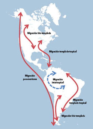 Esquema de las migraciones de larga distancia de las aves del Nuevo Mundo.