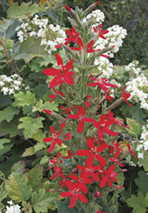 Royal catchfly (atrapamoscas real), planta perenne (Silene regia) nativa de los pastizales norteamericanos polinizada por el picaflor de garganta rubí.
