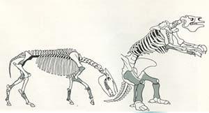 Fig. 4. Esqueleto de caballos americano (izquierda) y megaterio (derecha). Los huesos marcados con grisado corresponden a las partes encontradas.