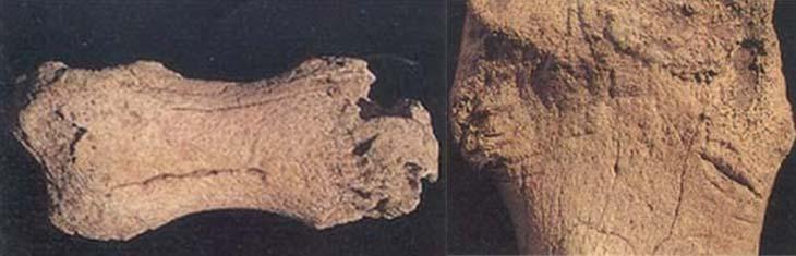Izq.  Los huesos de mamíferos extinguidos muestran diversos tipos de marcas. En la de arriba se observa una falange de Toxodón, cuya pane superior presenta rastros que sugieren la masticación por parte de algún carnívoro de gran tamaño. Der. se presentan marcas longitudinales que podrían atribuirse a la acción de instrumentos de piedra usados durante las tareas de descarne.