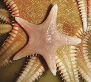 Estrellas de fondos arenosos de la familia Astropectinidae, de unos 12cm cada una. No se desplazan sobre pies con ventosas, como la mayoría de las estrellas, sino mediante espinas laterales, y también se diferencian porque tragan sus presas, lo que permite estudiar su dieta revisando su contenido estomacal. Lo último, en animales propios de las grandes profundidades, podría permitir el hallazgo de especies desconocidas, por ejemplo, pequeños moluscos.