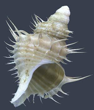 Gasterópodo de 35mm de longitud coleccionado a 520m de profundidad frente a Mar del Plata.