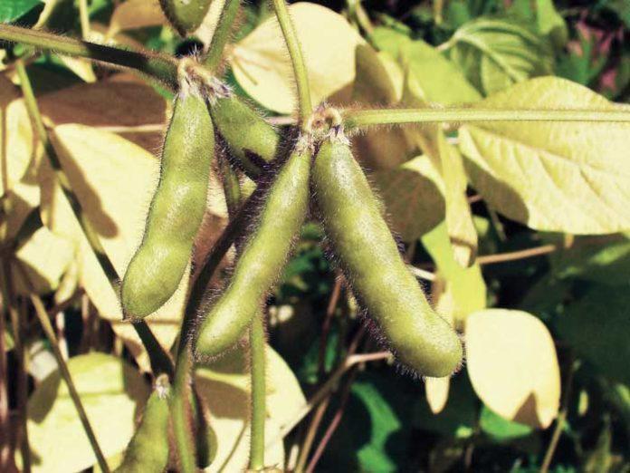 Abejas y cultivos de soja