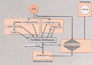 Fig. 3. DIAGRAMA ESQUEMATICO DEL CICLO DE LA ENERGIA EN UN ECOSISTEMA DE SURGENCIA DE AGUAS, POR EFECTO DEL  VIENTO. LOS NUTRIENTES CONTENIDOS EN LAS OSCURAS AGUAS PROFUNDAS LLEGAN A LA ILUMINADA CAPA SUPERFICIAL. TAL ENRIQUECIMIENTO DE ESTA PRODUCE LA PROLIFERACIÓN DE FITOPLANCTON (UNICELULAR) Y FITOBENTOS (PLURICELULAR), QUE CONSTITUYEN LA BASE DE LA CADENA ALIMENTARIA, SOBRE LA CUAL PROSPERAN LOS DEMAS ELEMENTOS QUE LA FORMAN (HERBIVOROS Y CARN!VOROS). LUEGO DE MUERTOS, LOS ORGANISMOS SON NUEVAMENTE TRANSFORMADOS EN NUTRIENTES POR ACCIÓN DE LAS BACTERIAS, EN UN PROCESO DE REMINERALIZACIÓN.