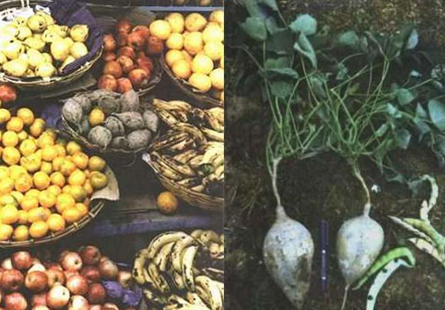 """Izq: Ahipas en el mercado local de Tarija, Bolivia. Tanto en Bolivia como en Argentina quienes la cultivan y la consumen se refieren a esta raiz tubersa como """"el fruto"""". Por ello en los mercados regionales se la hubica con las demás frutas, y no junto a las papas, batatas y otros tubérculos, como lo esperaría un observador externo. Foto : A. Grau. Der: Dos ejemplares de ahipa plenamente desarrollados en el momento de la cosecha. El follaje está constituido por hojas de tres folíolos, comunes en varios grupos de leguminosas corrientes como poroto, soja o trébol. Foto : A. Grau"""