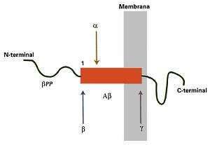 Fig. 4. Representación esquemática de la digestión enzimática de bPP, la proteína precursora de Ab, el cual está representado por el rectángulo rojizo; a, b y g son las respectivas secretasas. Véase el texto para mas detalles.
