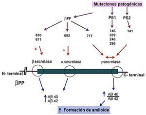 Fig 6. Representación esquemática del posible efecto de las mutaciones patogénicas de bPP(precursordel amiloide beta) y PS1/PS2 (presenilinas) en la cascada de eventos que conducen a la formación de amiloide. Los númeos indican la posición de las sustitución de un aminoácido por otro (mutación) en las respectivas moléculas. El signo (+) indica mayor producción de Ab40 (forma corta del amiloide) y Ab42 (forma larga)  por edecto de bsecretasa, (-) mayor producción de Ab40 y Ab42 por menor acción de a secretasa y () modificación del sitio de corte en el  extremo carboxilo terminal de ab que lleva a mayor producción relativa de Ab42.