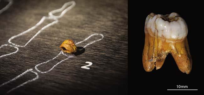 Izquierda: Reconstrucción de la falange de Denísova. Thilo Parg, Wikimedia Commons. Derecha: Imagen del molar hallado en el mismo sitio. Instituto Max Planck