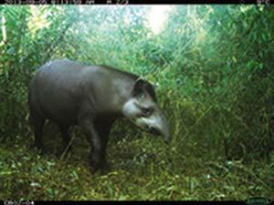 Tapir, que puede medir 1,90m de largo y tener 1,20m de altura en la cruz, fotografiado en las mismas condiciones que las ilustraciones de la página 32.
