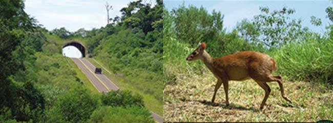 Izquierda: pasaje para la fauna (o ecoducto) sobre la ruta nacional 101, que corre entre Bernardo de Yrigoyen y Puerto Iguazú, en el noreste de Misiones. Foto D Varela Derecha: corzuela enana, un ciervo nativo de la selva misionera que puede medir 0,80m de largo y tener 0,40m de altura en la cruz, fotografiada por una cámara trampa cruzando el ecoducto.