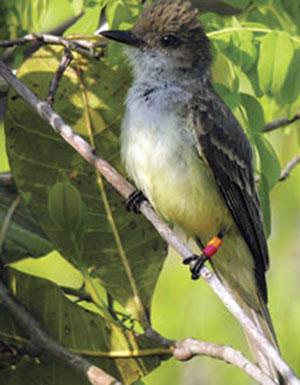 Fiofío belicoso (Elaenia chiriquensis). Habita la sabana brasileña o cerrado y migra entre zonas tropicales de Sudamérica. Foto AC Guaraldo