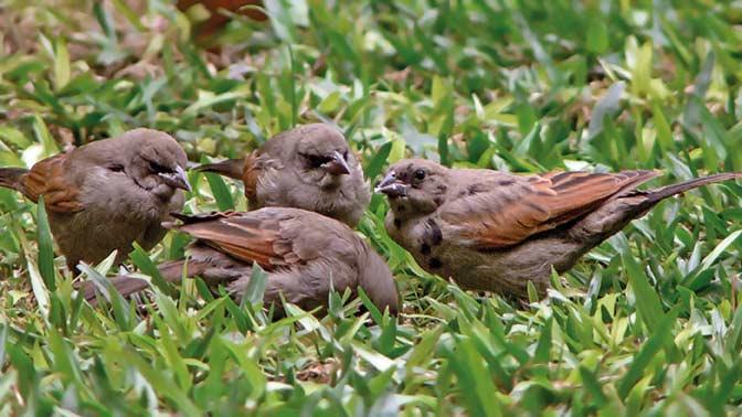 Aves que parasitan nidos ajenos