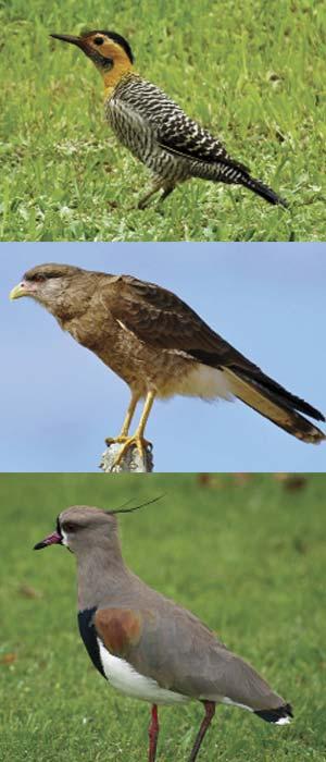 Algunas aves que crean riesgos en aeropuertos argentinos: carpintero campestre (Colaptes campestris), chimango (Milvago chimango) y tero (Vanellus chilensis). A pesar del incidente que muestra la figura de página 18, arriba, la primera no se cuenta entre las de alto riesgo.