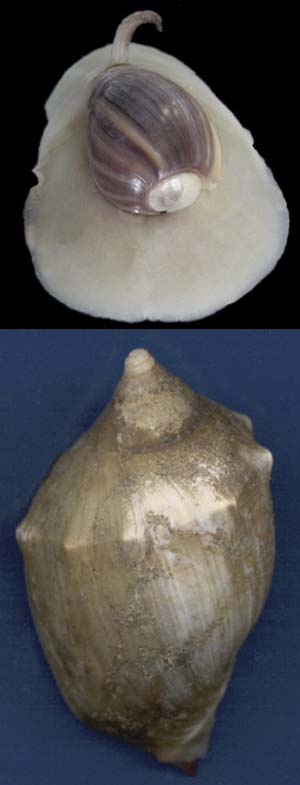 Arriba: oliva globosa (Olivancillaria deshayesiana), común en las costas de Mar del Plata. Abajo: caracol negro (Adelomelon brasiliana), muy abundante en la costa bonaerense, que pone huevos gigantes a menudo vistos en playas arenosas