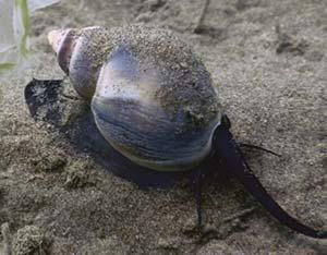 Caracol globoso (Buccinanops globulosus), especie muy propensa a desarrollar imposex y muy común en la zona intermareal de las costas de la Patagonia, donde es capturado por pescadores artesanales para ser consumido.