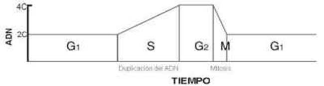 FIG 1. CICLO VITAL DE UNA CÉLULA : MUESTRA LOS CAMBIOS EN EL CONTENIDO DE ADN DURANTE LOS DISTINTOS PERÍODOS, EN FUNCIÓN DELTIEMPO. 2C CORRESPONDE A UN CONTENIDO DIPLOIDE DE ADN (DOS COPIAS DE CADA CROMOSOMA) Y 4C A UN CONTENIDO TETRAPLOIDE (CUATRO COPIAS DE CADA CROMOSOMA). LA EXTENSIÓN DE CADA ETAPA DEL CICLO ES PROPIA DE CADA CÉLULA.