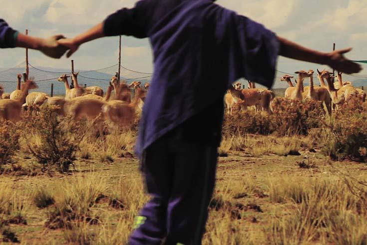 """""""Vicuñas"""": la ciencia, la tradición y el desarrollo sustentable van a la pantalla"""
