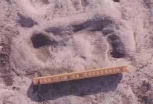 Fig 3. Pisadas humanas impresas en el barro, cuando el lugar era las márgenes de una laguna