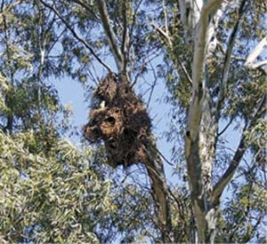 Nidos de cotorra en eucaliptos, árboles nativos de Australia plantados con enorme éxito en la llanura pampeana durante la segunda mitad del siglo XIX y adoptados por las cotorras para construir sus nidos.