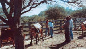 Figura 1.   Cría de ganado criollo en el Chaco boliviano