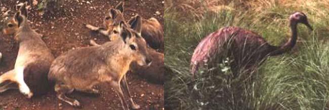 La mara y el ñandú petiso, dos animales típicamente patagónicas, vivieron en lo que hoy la provincia de Buenos Aires desde hace unos 20.000 a 8.000 años atrás, cuando las condiciones eran similares a las del norte de la Patagonia.