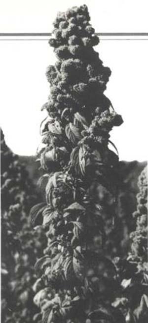 Amaranthus mantegazzianus, uno de los amarantos más productivos de la región.