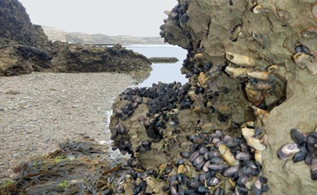 Dátiles de mar. Mejillones que perforan las rocas costeras