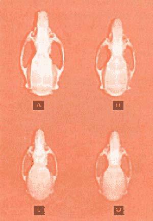 Figura 3 Efecto de la desnutrición sobre el dimorfismo craneano en la rata. Craneos de machos (A) y hembras (B) normales y cráneos de machos (C) y hembras (D) desnutridas.