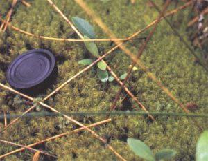 """Un """"colchón"""" da musgos en el suelo de un bosque siempre-verde, que sirve para el desarrollo de otras plantas herbáceas (helechos) y arbóreas (canelo)."""
