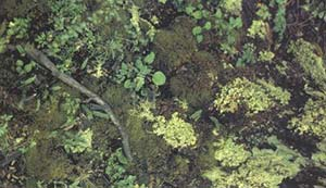 Talud naturalmente erosionado, colonizado por tapices de musgos, hepaticas, liquenes  y pequeñas herbaceas (Parque Nacional Los Glaciares, Santa Cruz).