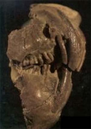 Fig. 1. Vista lateral del cráneo de Groeberia, un pequeño y enigmático marsupial sudamericano que vivió hace aproximadamente cuarenta millones de años. La altura total del cráneo es de aproximadamente 3 cm.