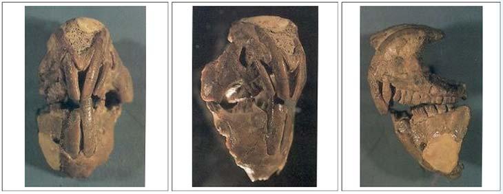 Fig. 2. a) Vista frontal del cráneo de Groeberia. Puede apreciarse la gran altura del rostro y los enormes incisivos superiores e inferiores. Las ramas mandibulares están completamente fusionadas entre sí.b) Cara derecha en semiperfil, mostrando la gran altura del cuerpo mandibular y el robusto arco cigomático que delimita inferiormente la órbita.c) Cara izquierda del mismo cráneo, donde se observa la enorme implantación del primer incisivo superior, así como también el aspecto general de toda la serie dentaria. Entre los dientes superiores se aprecia que los molares (dientes más posteriores) están más desgastados que el canino y los premolares