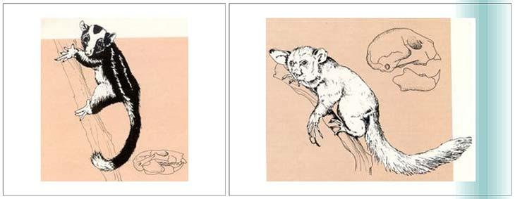 Fig. 4 Aspecto general de Dactylopsila, un pequeño marsupial australiano de hábitos arborícolas. Abaio, derecha: vista lateral del cráneo.Fig. 5. Daubentonia madagascariensis, un primitivo primate del grupo de los prosimios que vive actualmente en la isla de Madagascar. Si bien su cráneo presenta algunas similitudes generales con el de Groeberia, ambos distan de ser idénticos.