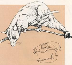 Fig. 6. Caluromys, una pequeña comadreja sudamericana de hábitos frugívoros y arborícolas. Si bien su cráneo es muy distinto al de los groebéridos, algunos de sus hábitos de vida pueden haber sido similares. En relación a otras comadrejas sudamericanas, el cráneo de Caluromys tiene el rostro corto y las órbitas grandes.