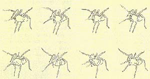 Un macho del Lycosa Carbonelli sigue un rastro de feromona sexual y se entrega al ritual del cortejo. El dibujo reproduce los fotogramas de una secuencia cinematográfica que dura un segundo. Las patas anteriores de la araña se mantienen elevadas y extendidas y se agitan con movimientos complejos. Los trazos punteados indican movimiento.