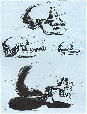 Fig. 3 Ilustracion de la obra de Daubenton, 1764