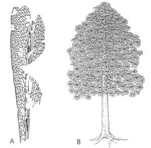 A. Hoja de Glossopteris (según Rigby), espécimen de Australia. - B. Árbol de Glossopteris, de unos cuatro metros de altura (según Goud y Delevoryas)