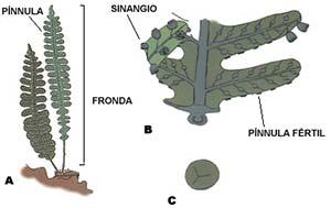 Fig 2 : A. Fronda estéril de un helecho actual (según Dimitri, modificado) B. Reconstrucción de una fronda fértil de un helecho extinguido (según thomas y Spicer). Obsérvese que los sinangios, grupos de esporangios fusionados, se insertan en el envés de las pínnulas. C.Espora de helecho, X 300.