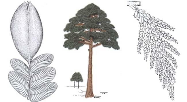Izq: Parte de una fronda de la pteridosperma carbonífera Neuropteris en conexión orgánica con una semilla tipo Trigonocarpus (según Stewart y Delevoryas). Medio: A. Árboles progimnospérmicos de edad devónica (según Beck). Der.:B. Rama del follaje de la misma progimnosperma (según Beck)