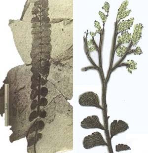 Izq.: Fig 5. Espécimen de Nothorhacopteris argentinica encontrado en la Formación Jelenes. Der.: Fig 6.  Rhacopteris paniculifera Stur del Carbonífero temprano de Alemania. Obsérvese la ramificación da la fructificación apical.