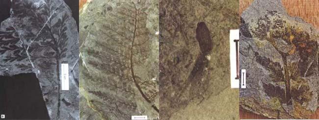 """Fig 8. Flora de la formación de Jejenes.: a. """"Triphyllopteris"""" cuyana. b. Sphenopteris sarmientoi. Fronda de afinidad desconocida. Escala=1cm. c. Semilla pteridospérmica. Escala = 1cm. d. Rinconadia achangelskyi. Fronda conectada orgánicamente a una nube de esporangios en el ápice. Longitud del ejemplar: 8cm."""