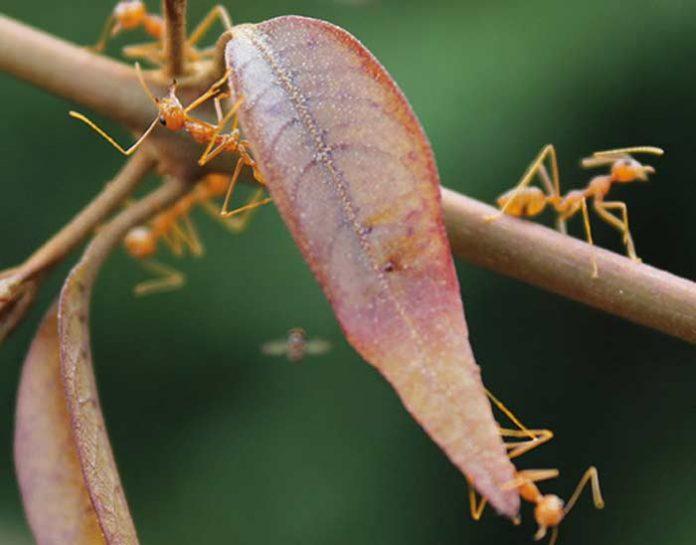 Transporte cooperativo en hormigas