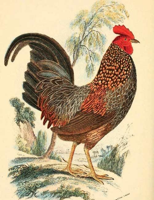 De huevos, pollos, gallos y gallinas