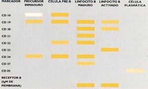 FIG.1 Principales marcadores del proceso de diferenciación de los linfocitos B.  La intensidad del color es proporcional a la cantidad de los marcadores en la membrana celular