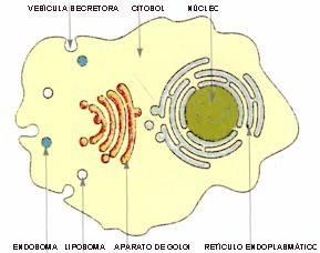 Esquema de los compartimentos celulares