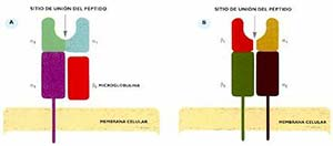 FIG I Esquema de la estrucutra de moléculas HLA de clase I (A) y de clase II (B).  Las porciones de las cadenas denominadas a1, a2, b1, b2, etc., representan los dominios de las proteínas, regiones con estructuras definidas.